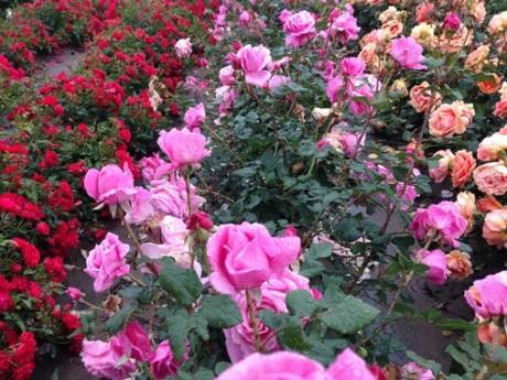 Stan produkcji krzewów róż