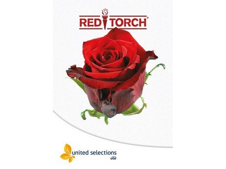 Floraldaily Com Rift Valley Roses Introduces Red Torch At