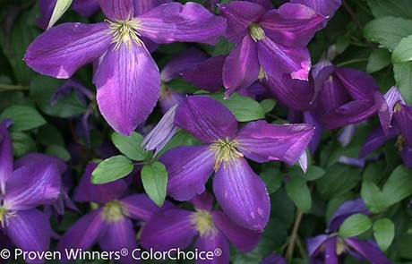 Us four star introduces new shrubs happy jack purple clematis 3 5 deep purple flowers that debut early and bloom into fall bright yellow stamens highlight the velvety petals mightylinksfo