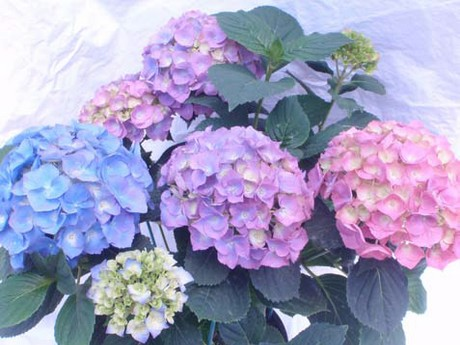 If The Requirements For Inducing Blue Coloration Are Not Met Hydrangea Flowers Can Range From To Purple Or Pink Brian Whipker