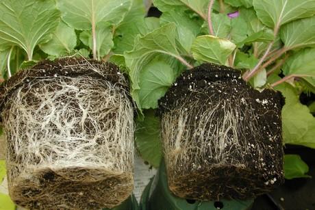 pythium root rot
