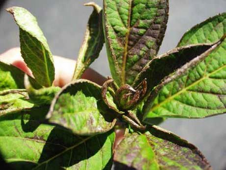The alternative chilli thrips