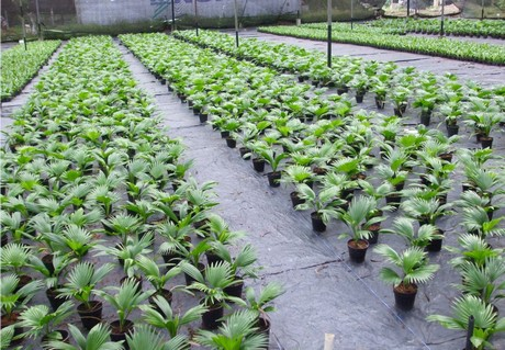 Sri Lankan Palm Grower To Expand
