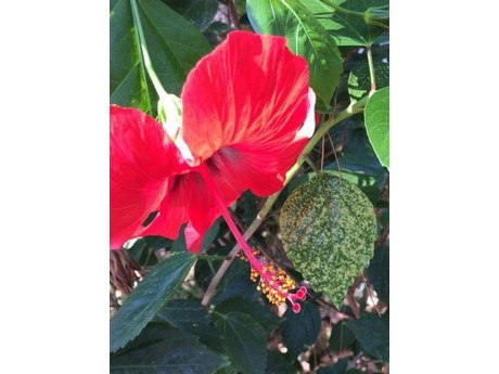 First report of Hibiscus chlorotic ringspot virus in Turkey