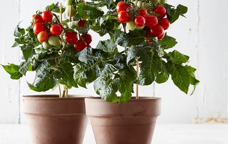uk tesco launches indoor tomato plant. Black Bedroom Furniture Sets. Home Design Ideas