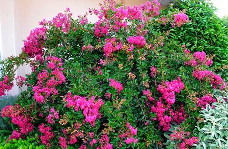 planten spiraea japonica