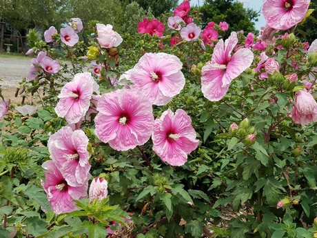 US (TX): Winter-hardy hibiscus hybrids continue trek to ...