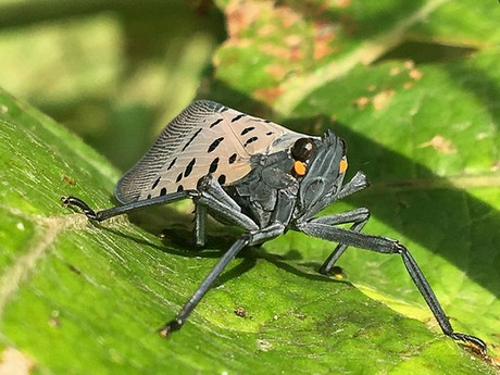 FreshPlaza.com : US: Spotted lantern fly confirmed in Delaware