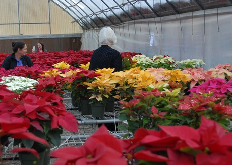 Us La Hundreds Of Poinsettias On Display At Lsu Agcenter Show