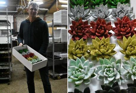 Christmas Succulent Arrangement.Christmas Preparations At Succulent Grower Winco Holland
