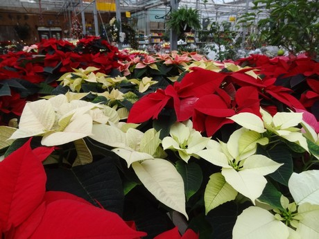 Canada Traditional Poinsettia Remains The Best Seller
