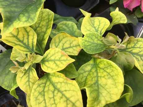 Younger leaves: Yellowing between the veins
