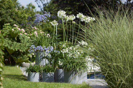 The Most Common Agapanthus Is Derived From A Afric With Blue And White Flowers Both Types Offer Various Cultivars Which Differ In Terms Of Plant