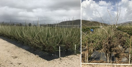Stock defoliated after the devastating visit of hurricane Maria