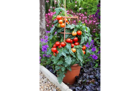 Floranova F1 Summerlast One Of The Novelties Is Patio Tomato We Will Be Launching This Variety Along With A Few Others