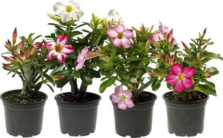 Danish grower adds Adenium to assortment